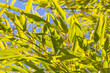 canvas print picture - Bambus