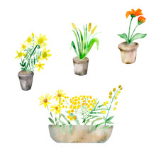 Watercolor Composition Isolated Healing Yellow And Orange Plants On White Background In Clay Pots