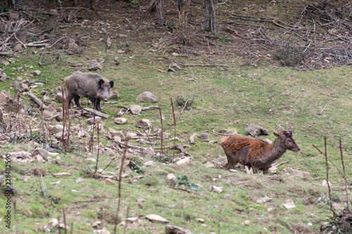 Foto Wild boar and deer in the forest