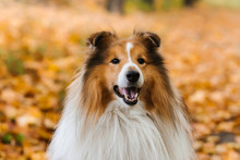 Shetland Sheepdog  Is Sitting On The Road In The Park In Autumn