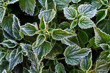 First Freezes Of White Frost On Green Plants