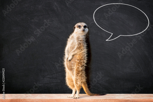 Fotomural Portrait of a meerkat standing and looking alert against blackboard with chalk speech bubble
