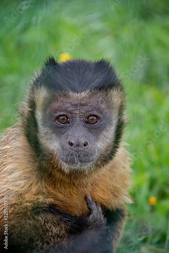 Portrait of Tufted Capuchin (Sapajus apella). Billede på lærred