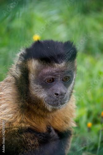 Fotografija  Tufted Capuchin (Sapajus apella).
