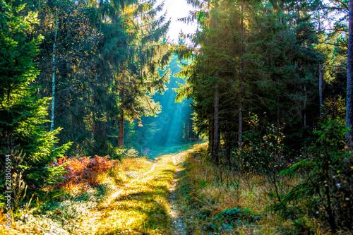 Fotografie, Obraz  Solstrålar över skogsväg genom tät granskog