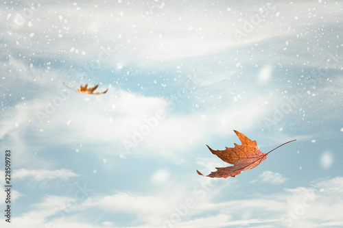 Dry Autumn Maple Leaves Blowing In The Wind With Falling Snow Buy This Stock Photo And Explore Similar Images At Adobe Stock Adobe Stock