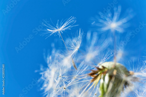 Close-up of a dandelion or taraxacum flower head with florets and seed heads flying in the wind against a saturated blue sky