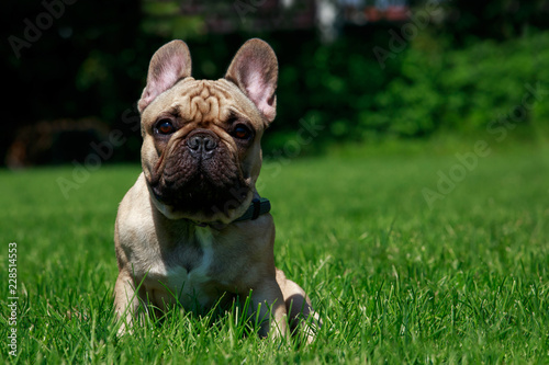 Dog breed French Bulldog