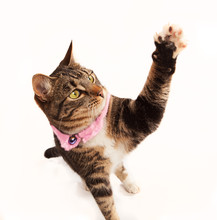 Cat Reaching Up, Tabby And White Kitten Wearing Pink Collar Has Her Paw Raised High In The Air With Pads And Claws Showing