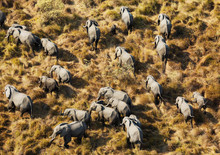 Breeding Herd Of African Eleph...