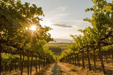 Pogled izbliza na vinograd na brdu na zalasku sunca - država Washington