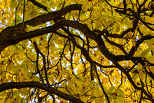 Low Angle Shot Of A Big Osage Orange (Maclura Pomifera) Tree With Many Strong Intertwining Branches And Colourful Leaves Like A Piece Of Art On A Golden Autumn Day In Germany.