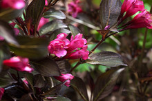 Bright Pink Flowers And Deep Pruple Black Leaves Of The Weigela, Wine And Roses