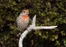 A House Finch Is Sitting On Br...