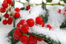 Red Holly Berries In Snow