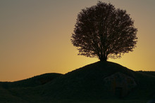 Silhouette Of A Rowan Tree