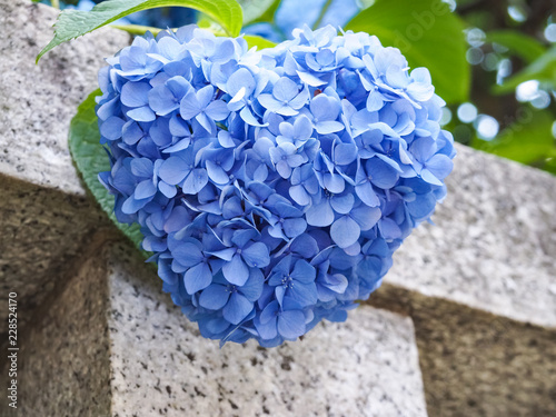 Blue Heart Shaped Hydrangea
