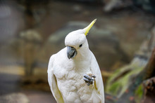 Cockatoo - Portrait Of The Animal.