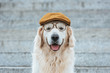 cute golden retriever dog in cap and eyeglasses looking at camera