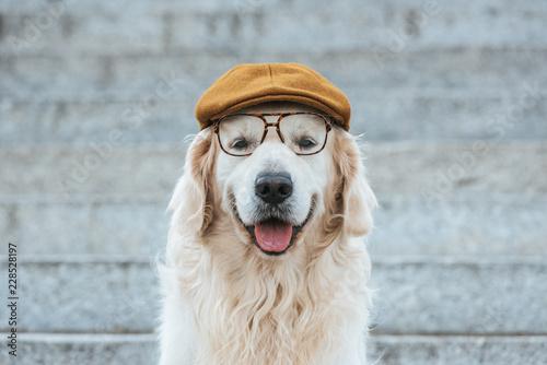 Obraz cute golden retriever dog in cap and eyeglasses looking at camera - fototapety do salonu