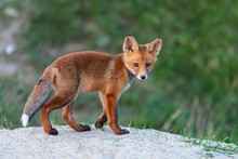 Young Red Fox Stands Near His Burrow