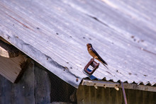 Close View Of A Swallow Sitting On A Barn Roof