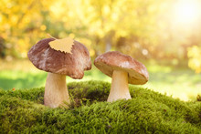 Two Edible Wild Mushrooms In T...