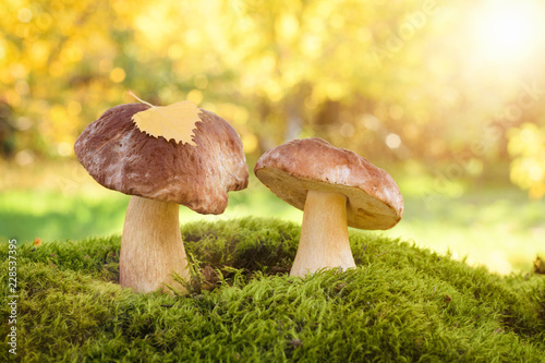 Fotografie, Obraz  Two edible wild mushrooms in the forest on a sunny day