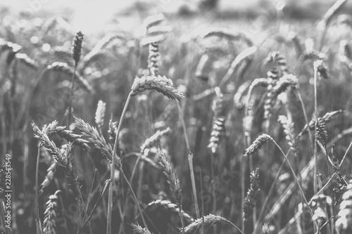 Keuken foto achterwand Paardebloemen en water Wheat on the field. Monochrome photo.