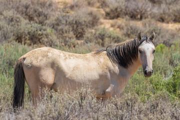 Fototapeta Wild Horse in the Colorado Desert in Summer
