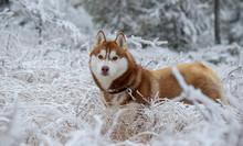 Siberian Husky Dog In The Snow