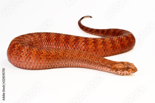 Todesotter (Acanthophis antarcticus) - Common death adder