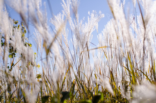 Fotografie, Obraz  Beautiful white reeds glistening in the bright autumn sunshine against a blue cr