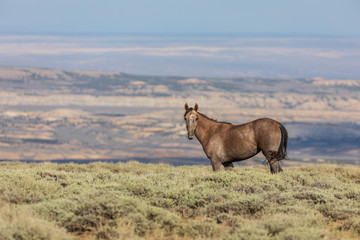 Fototapeta Wild Horse in the Colorado Desert in Summer