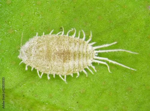 Long-tailed mealybug, Pseudococcus longispinus (Hemiptera: Pseudococcidae)