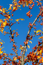 Autumn Leaves And Crabapples A...