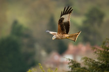 Red Kite In Flight In Countrys...