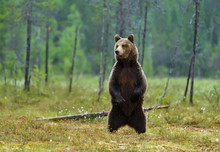 Eurasian Brown Bear Standing On Hind Legs