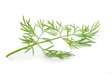 Fresh Green Branch Of Dill