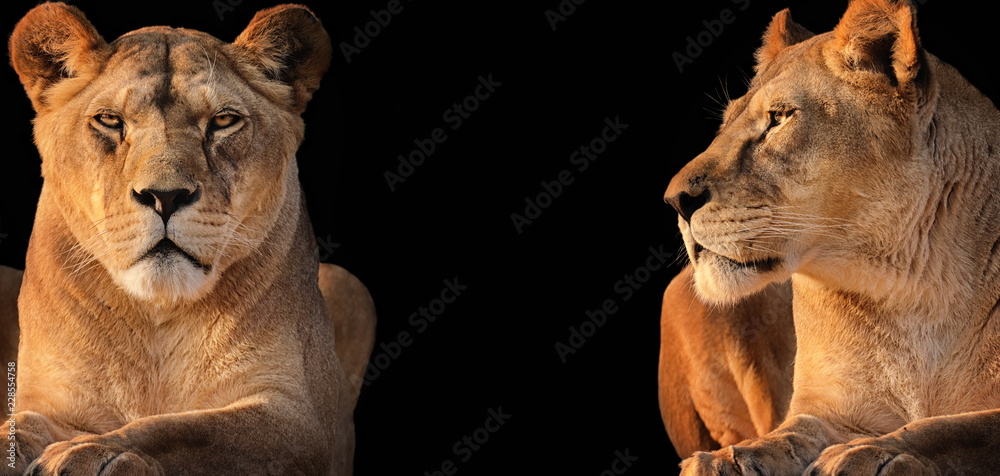 Two lionesses (lion desert)