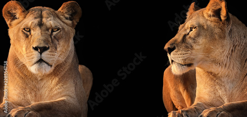 Obraz na plátne Two lionesses (lion desert)