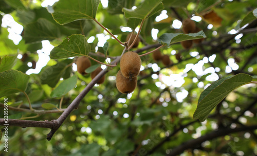 kiwi fruit on the tree Canvas Print