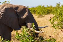 Elephant Tusks In Kruger Park