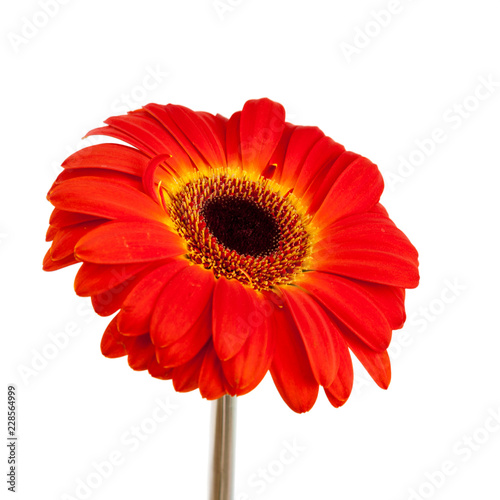 Red gerbera flower on white.