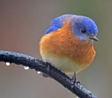 Blue Bird On Shephards Hook