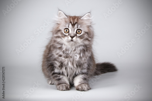 Photo  Scottish straight longhair cat on colored backgrounds