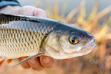 Chub (Squalius Cephalus) In The Hand Of Fisherman Against The Background Of Cane