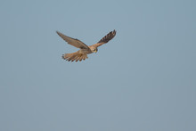 Kestrel Hunting Over Rye Harbour