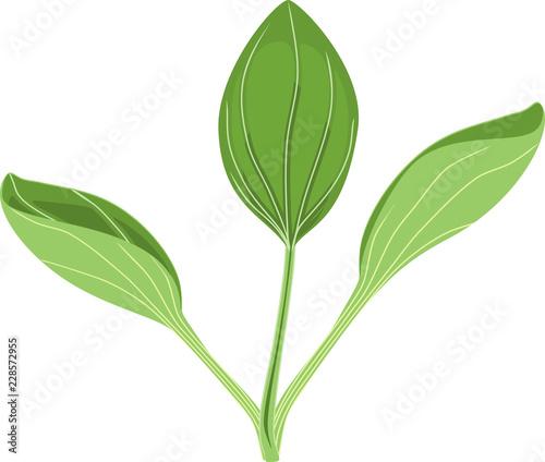 Fotografia, Obraz  Greater plantain or Plantago major