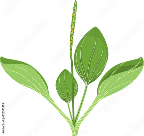 Photo  Greater plantain or Plantago major